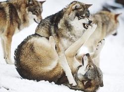 lobos-enfadados